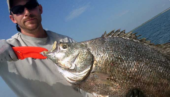 atlantic tripletail caught
