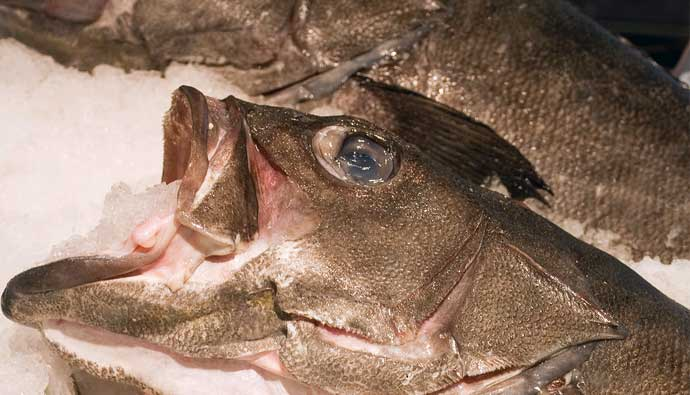 Hapuka fish on ice