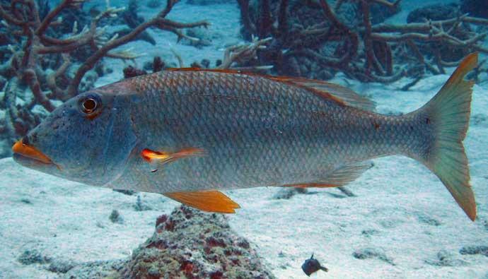 Sweetlip Emperor Fishing Tips