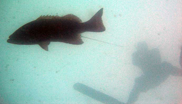 spearfishing grouper