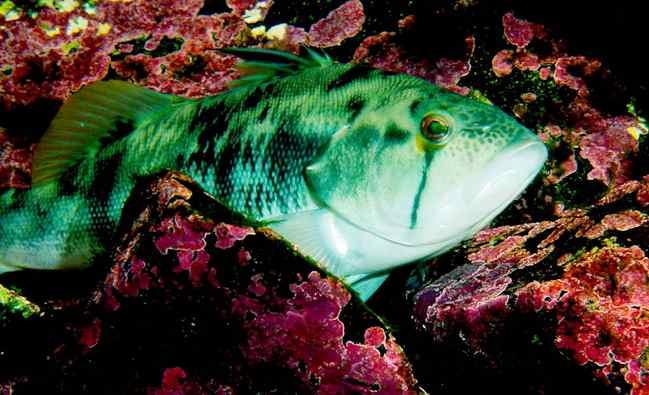 sand bass fish