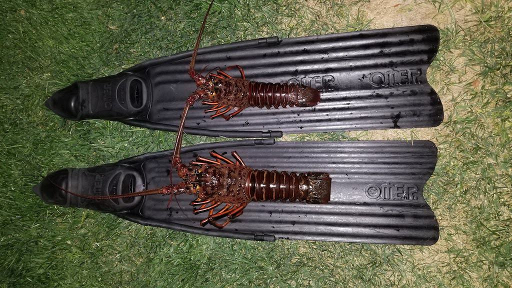 freediving for spiny lobster using lobstering gloves