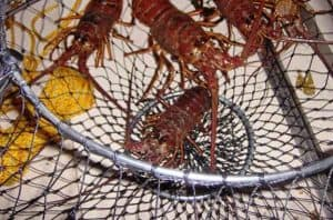 best lobstering nets
