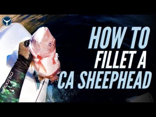 how to clean and fillet california sheephead