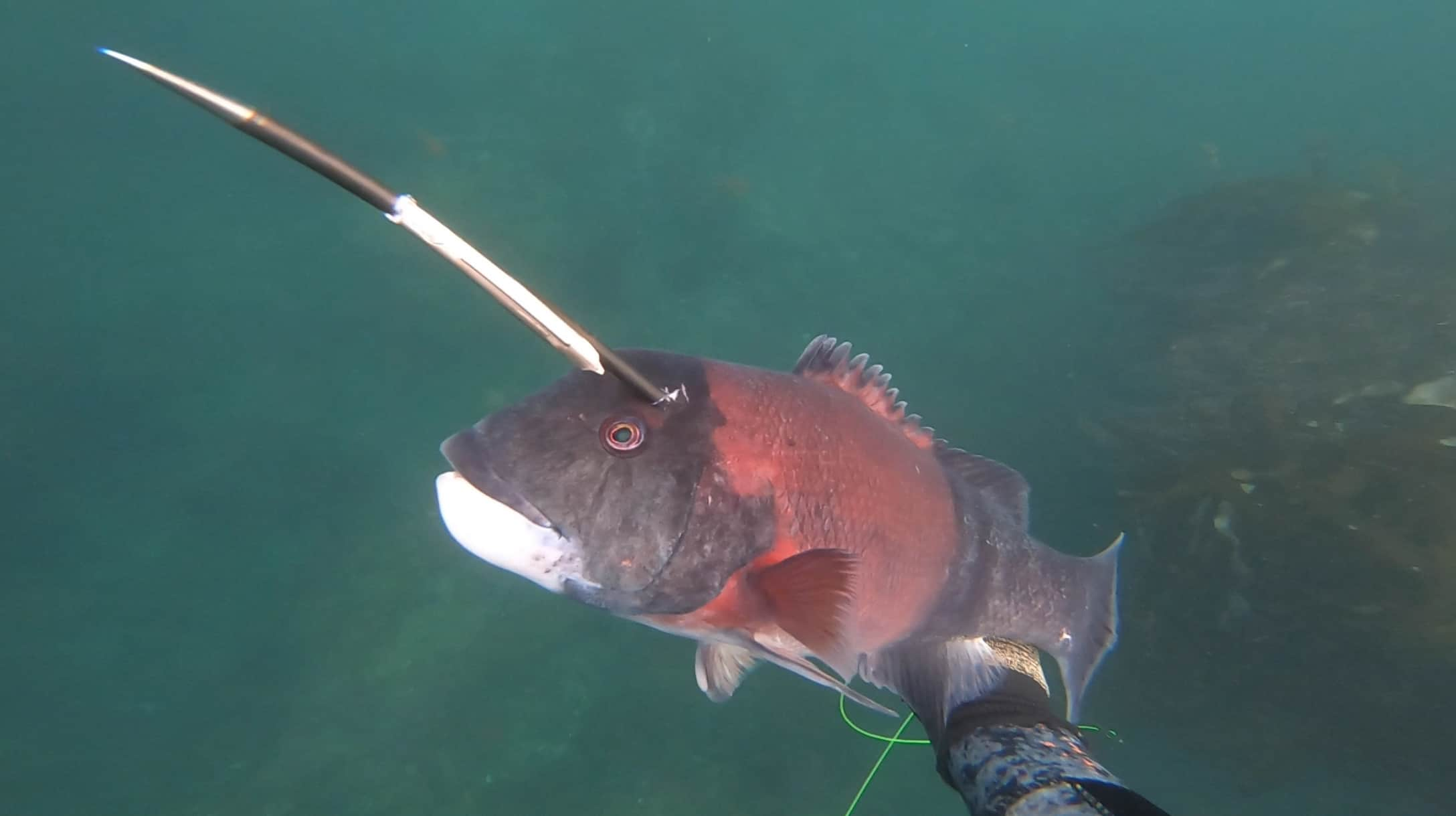 California Sheephead spearfishing