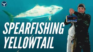yellowtail spearfishing tips